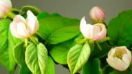 White Apple Tree Flowers. video