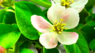 White Apple Tree Flowers. video