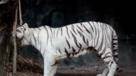 White bengal tiger, bite bamboo, for teeth cleaning video