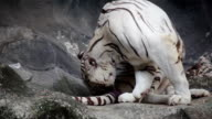 White bengal tiger, cleaning and grooming hair on cliff video