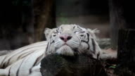White bengal tiger is sleeping, and relax on timber under tree video