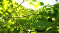 White birch, tree leaves video