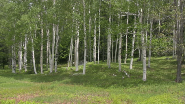 White Birch trees in Maine 01 - HD video