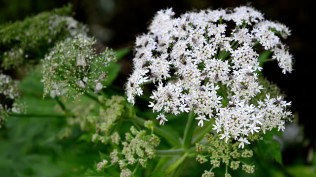 white blossom of Angelica flower. perennial herbs with flys. video