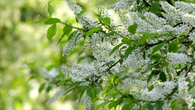 White blossom trusses of a european bird cherry tree, waving in the spring light wind on blur bright green background. video