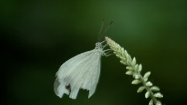 white butterfly 2 video