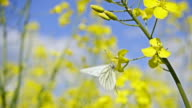 White butterfly and rapeseed flowers, slow motion video