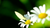 White butterfly on a flower video