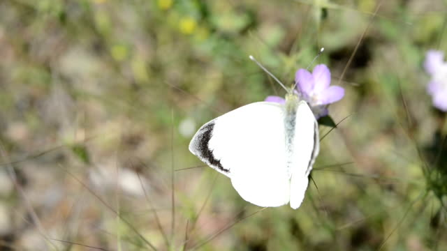 White butterfly video