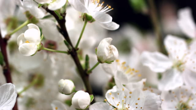 White Cherry blooming flowers video