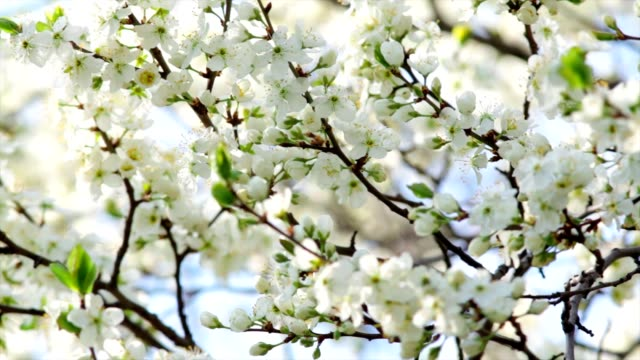 White cherry blossom trusses with yellow stamens and new green leaves. video