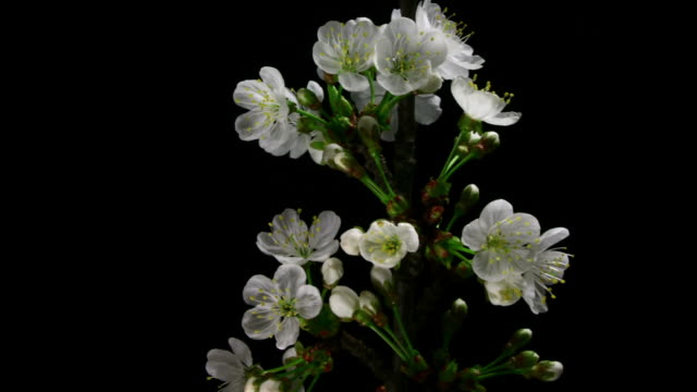 White cherry flowers blooming HD video