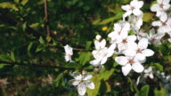 White cherry flowers blooming in springtime in the wind day. video
