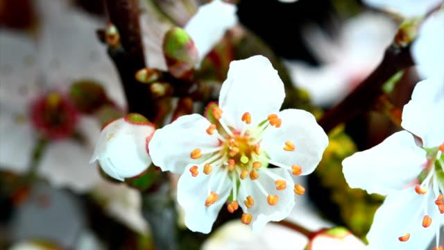 White cherry flowers blooming video