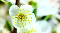 White cherry flowers blooming video