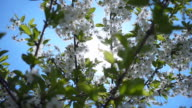 White cherry flowers on a background of the sun's rays.  Slow mo, slo mo video