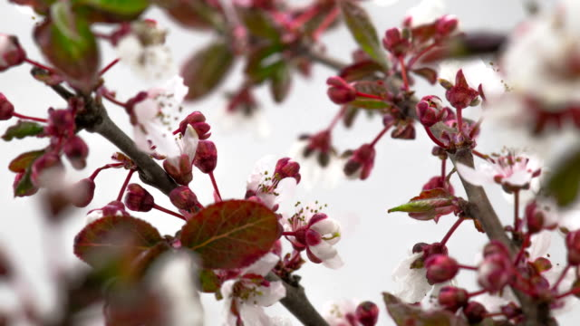 White Cherry Tree Flowers Blossoms. video