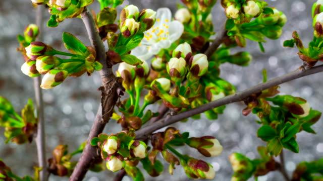 White Cherry Tree Flowers. video