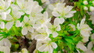 White Cherry Tree Flowers. video