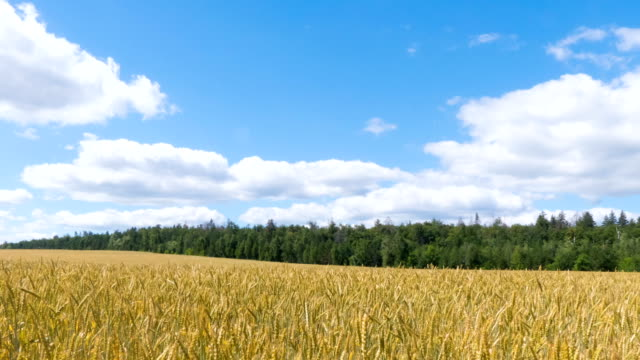 White clouds flying on blue sky over yellow field Wheat Time lapse. video