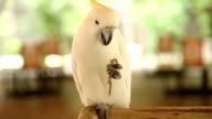 White Cockatoo eat their peanut video