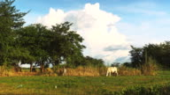 White cows grazing in a field in the late afternoon video