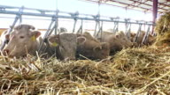 White Cows on a Farm Animals Eat Grass video
