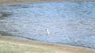 white crane catching food in the reservoir shore video