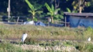 white crane take off and flying video