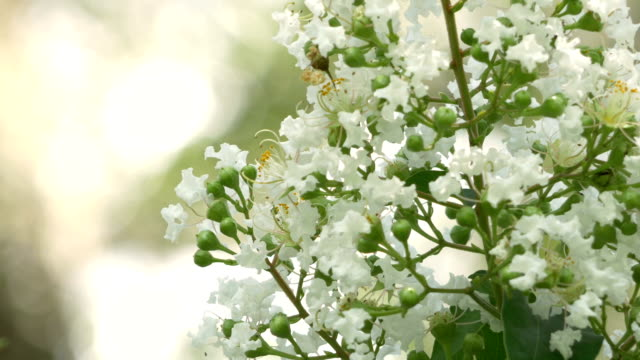 White Crepe Myrtle Flowers Bloom on Beautiful Day video