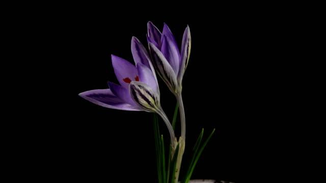 White Crocus Bloom, Blossom timelapse, snowdrops video