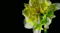 White daffodil blooming 4K video