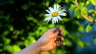 White daisy in women's hands video