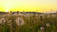 CU White dandelions at sunset video