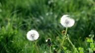 White dandelions in the wild nature. video