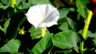 White datura flowers video