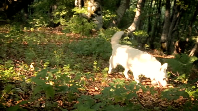 White dog in the forest video
