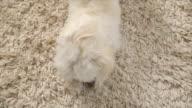 white dog playing video