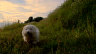 SLO MO White Dog Running In The Grass video