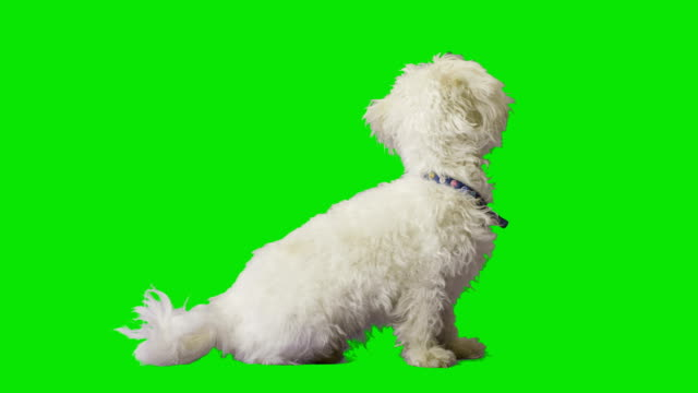 White dog turns his back and looks away video