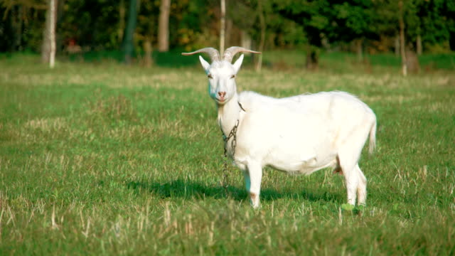 A white domestic goat standing on the farm eating. video
