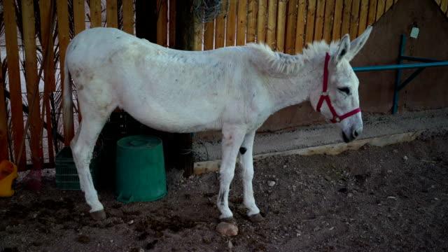 White Donkey video