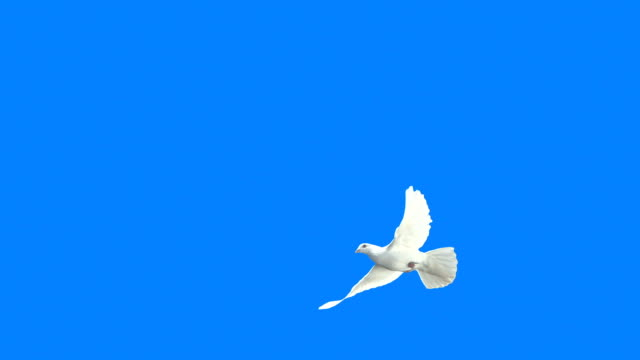 White Dove Crossing Frame (Super Slow Motion) video