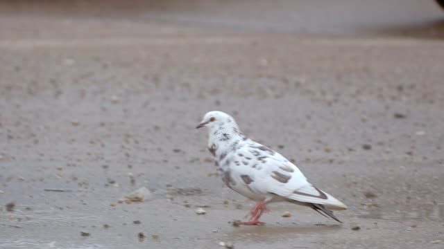 white dove walking on ground slow motion video video