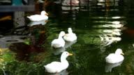 white ducks swimming video