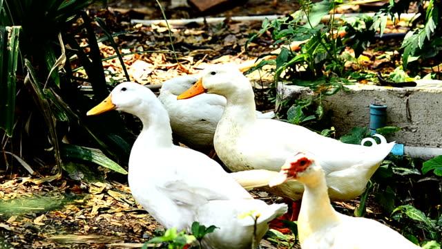White ducks video
