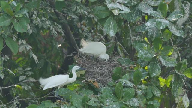 White Egret hatching eggs in a nest on a branch. video
