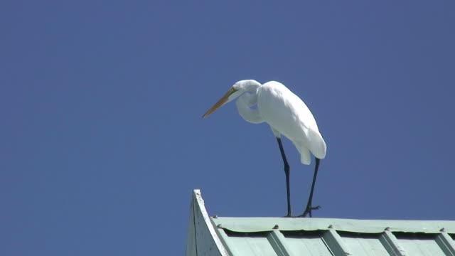 White egret on blue 3 - HD 60i video