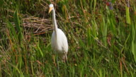 White egret or ibis in the Everglades video
