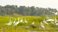 white egrets in Thale Noi Waterfowl Park, Phathalung, Thailand video